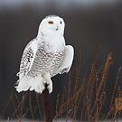 Post BG / Snowy Owl by Gary Fairhead