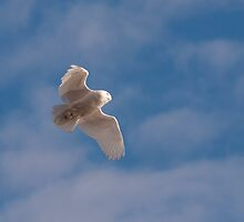 Flight of the Snowy Owl by dwornham