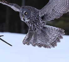 Great Grey Owl Landing by hummingbirds