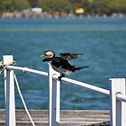 LITTLE PIED CORMORANT by David McDougall
