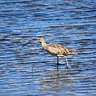 EASTERN CURLEW by David McDougall