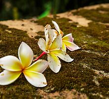 Temple Flower ( Plumeria) by thegaffphoto