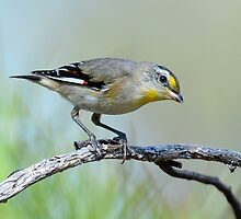 Straited Pardalote taken Goulburn River NP near Ulan by Alwyn Simple