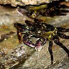 Rock Crab - Beachcomber Series by reflector