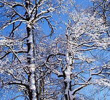 Snow covered beech trees on a sunny winter day by intensivelight