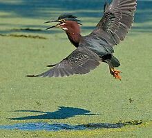 Green Heron by Heron-Images