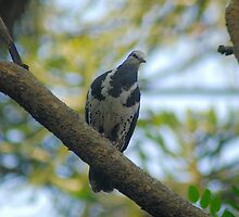 Wonga Pigeon. by Loachlover