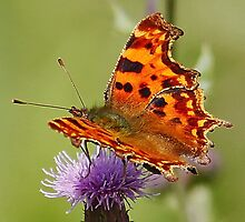 Comma Butterfly by AnnDixon