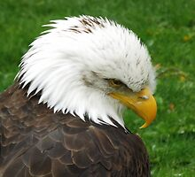 The American Bald Eagle by printerbill