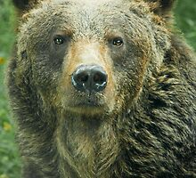 Eurasian Brown Bear by Dominika Aniola