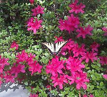 Butterfly on Magenta Azalea  by gt6673