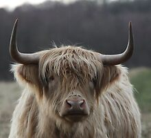 Highland Cattle by EmilyWednesday