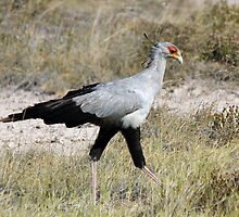 Secretary Bird Hunting by Jennifer Sumpton