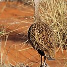 Female Northern Black Korhaan by Jennifer Sumpton