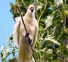 My visiting  Cockatoo by Anthony Davey