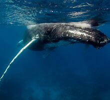 Adult Humpback Whale by Wolfgang Zwicknagl Photography