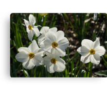 Sparkling, Fabulous White Narcissus with a Touch of Red Canvas Print