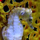 Bloomington, MN: Seahorse by ACImaging