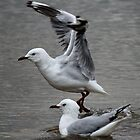 gull - get ready to go by gaylene