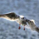 Gull by Nigel Bangert