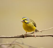 Green singing finch by Dominika Aniola