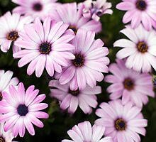 Purple Daisies by Charlotte Lake