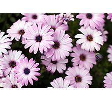 Purple Daisies Photographic Print