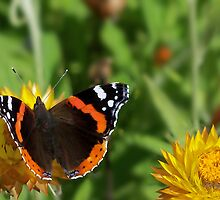 Red Admiral Butterfly by hootonles