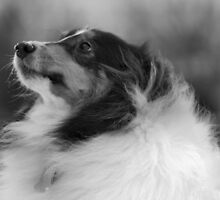 Sheltie in Mono by Keala
