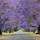 Jacaranda Delights: Kent St, Grafton, NSW by SunshineKaren
