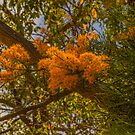 Australian Christmas Tree (Nuytsia floribunda) by Elaine Teague