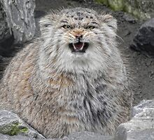 angry Manul by Jo-PinX