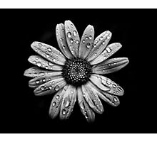 Backyard Flowers In Black And White 16 After The Storm Photographic Print