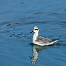 Grey Phalarope Facing Left by Sue Robinson