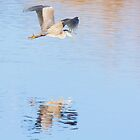 Grey Heron in flight, reflected by Ralph Goldsmith