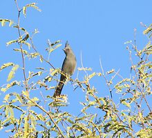 Female Phainopepla Eyeing the Morning from Her Tree by Ingasi