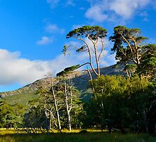 Trees in Mull by Neil Cameron
