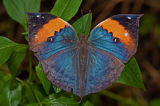 Indian Leafwing Butterfly by JMChown