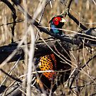 Pheasant On Watch by Deb Fedeler