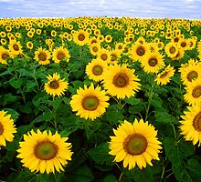 Sunflower Field by cadellin
