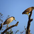 Black Crowned Night Herons by Phyllis Beiser
