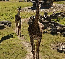 Giraffe Mom and Baby Calf by ValeriesGallery