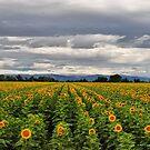 Sunflower Fields by NancyC