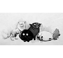 Persian cats Photographic Print