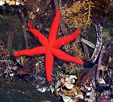 Red Starfish in Rockpool by Kawka