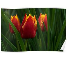 Cheerfully Wet Red and Yellow Tulips Poster