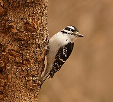 Downy Woodpecker by Sandy Keeton