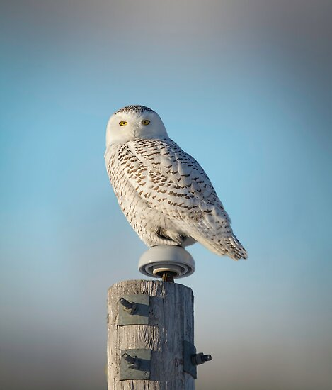 The Wise Snowy Owl by Thomas Young