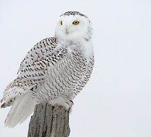 Snowy Owl by Owl-Images