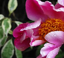 Peony Rose by Adele Gregory